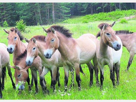 Przewalski Pferd Reiten Freiheit Für Przewalski-pferde