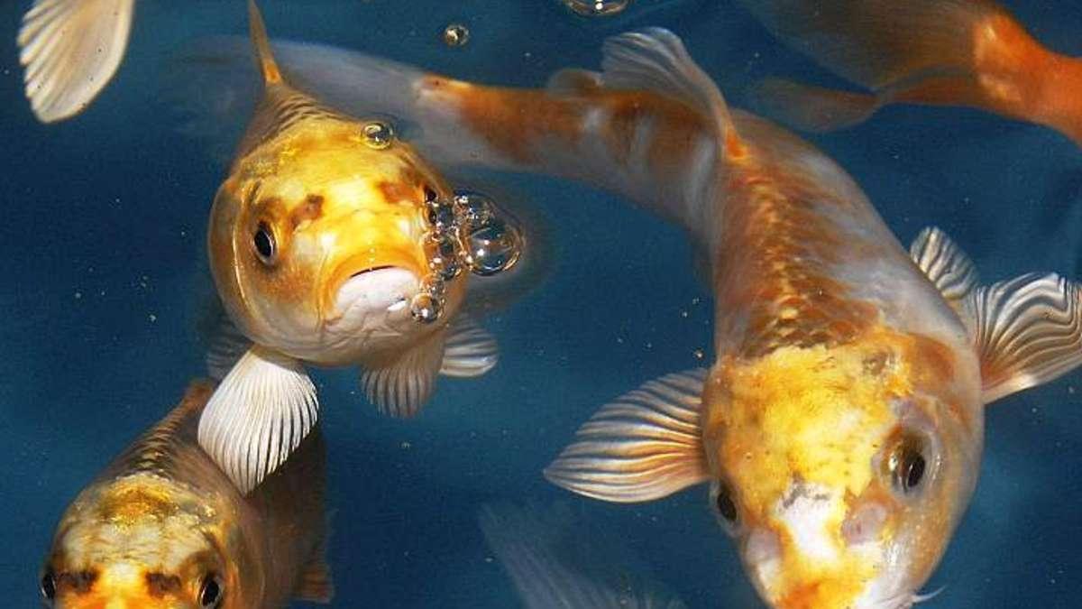 Ober m rlen fische aus gartenteich gestohlen und sofort for Fische gartenteich geeignet