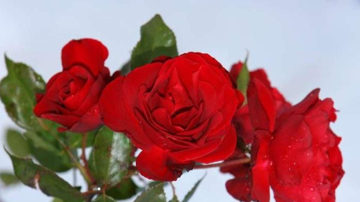 an valentinstag kommt man an der roten rose nicht vorbei. Black Bedroom Furniture Sets. Home Design Ideas
