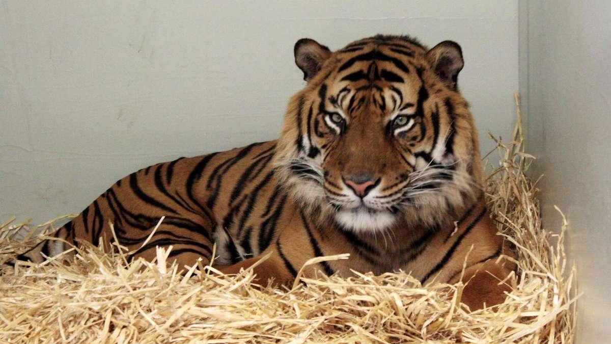 tierischer neuzugang im frankfurter zoo tiger vanni eingezogen frankfurt. Black Bedroom Furniture Sets. Home Design Ideas