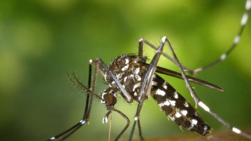 Eine weibliche Asiatische Tigermücke (Aedes albopicts). Foto: James Gathany/CDC/Centers for Disease Control and Prevention