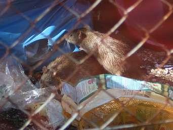 Mullberge Und Ratten Auf Privatgelande In Offenbach Stadt Sind Die